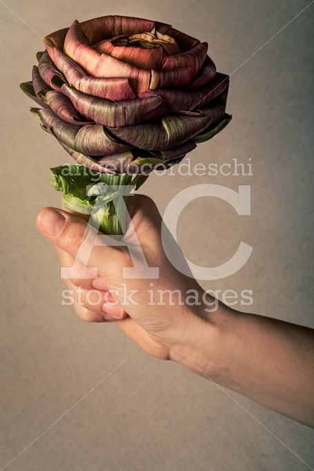 Hand Holds An Artichoke Vegetable That Looks Like A Rose. Love O Angelo Cordeschi
