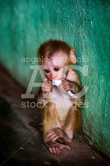 Isolated Monkey Cub With Rolled Up Paper In Hand. In A Position Angelo Cordeschi