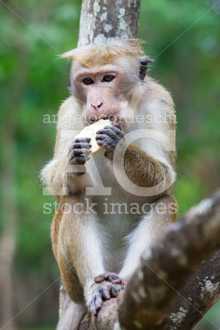 Monkey Eating Sitting On A Branch Of A Tree. Angelo Cordeschi