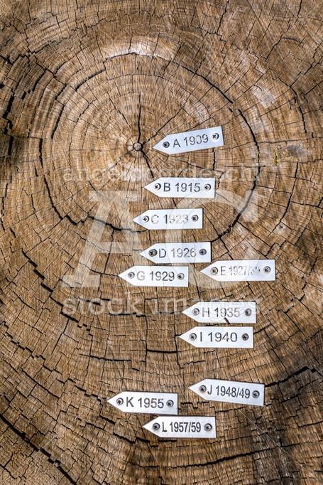 Section Of Secular Tree Trunk With Labels With Year. Seen From A Angelo Cordeschi