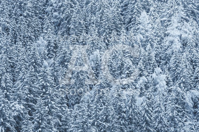 Snow Covered Forest, Fir Trees With Snow On Branches. Full Backg Angelo Cordeschi
