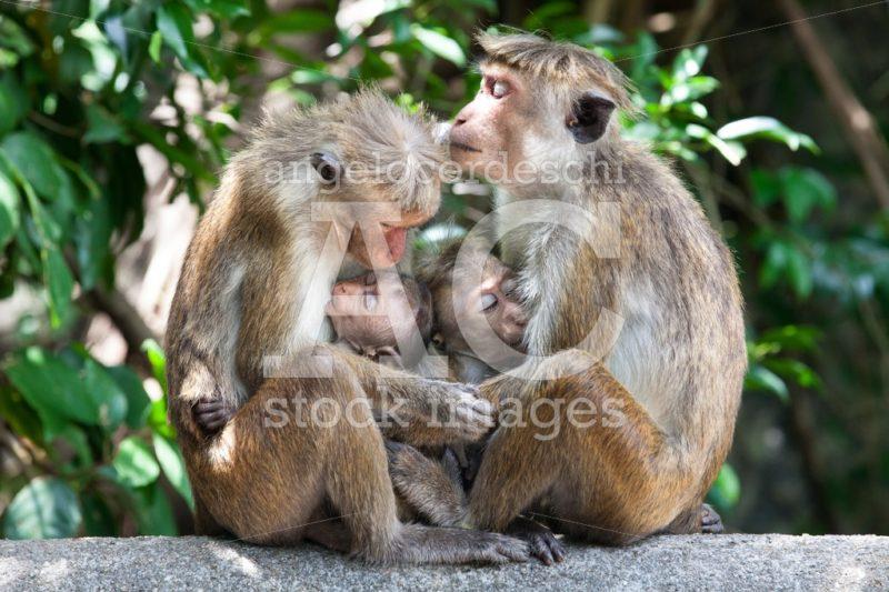 Two monkeys with their macaque cubs breastfeeding. Sri Lanka. - Angelo Cordeschi
